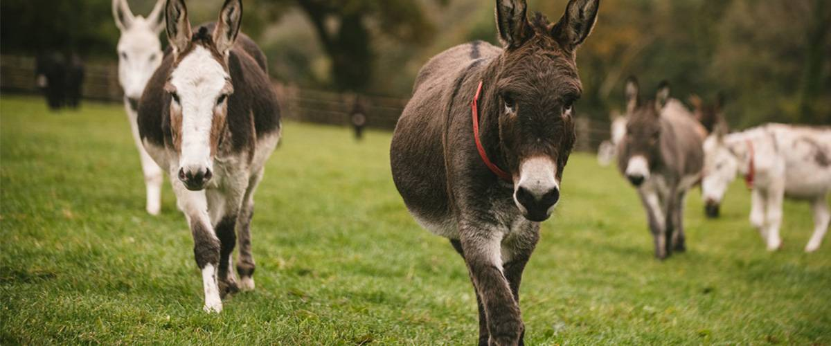 Flash The Donkey Makes New Friends
